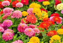 zinnias flowers zinnia a profile of an annual flower howstuffworks