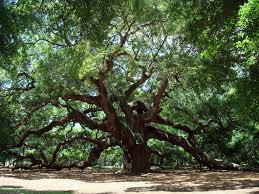 south carolina native plants most amazing tree ever angel oak in s c favorite places