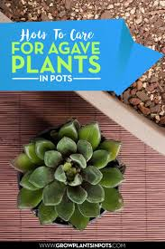 best 10 agave plant ideas on pinterest agaves agave attenuata