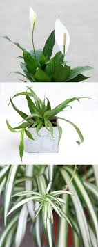 indoor plant 12 easy air purifying indoor plants for beauty well being a