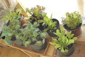 growing an indoor winter garden the taos news