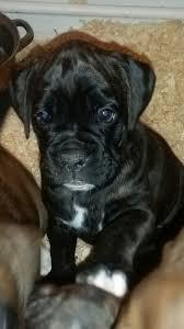 boxer dog reverse brindle stunning reverse brindle boxer puppy gravesend kent pets4homes
