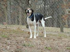 bluetick coonhound louisville ky i found piper on
