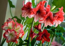 Amaryllis Flowers 16 Plants With Big Flowers
