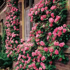 zephirine drouhin climbing rose gardens yard ideas and yards