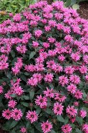 the top 25 butterfly garden plants article by plant delights nursery