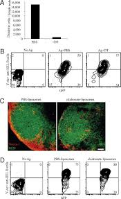 a protease dependent mechanism for initiating t dependent b cell
