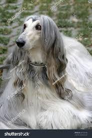 afghan hound breed dog breed afghan hound stock photo 327105782 shutterstock