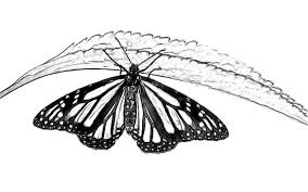 line drawing pencil and charcoal art galleries butterfly penicl