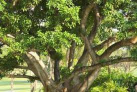 ficus tree problems with shiny sticky leaves home guides sf gate