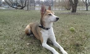 belgian shepherd x greyhound meet haku the shiba inu mix on pack