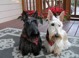 scottish yerrier haircuts scottish terrier haircut styles find hairstyle