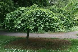 buy cheals weeping cherry tree free uk mainland delivery