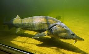freshwater fish free images kapitaler sturgeon large aquarium freshwater fish