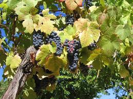 preventing problems in grapes u2013 how to treat common grapevine