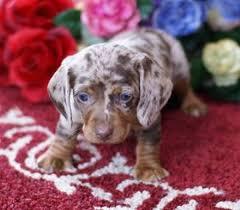 bluetick coonhound puppies for sale in texas best 25 dapple dachshund ideas on pinterest dachshund puppies