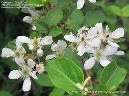Shrub Small White Flowers - plant identification closed bushy u0026 thorny shrub with small