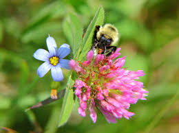 bumble bee summer clover flowers free nature pictures by