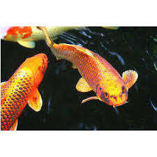 koi fish manufacturers suppliers wholesalers