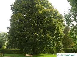 large leaved lime tilia platyphyllos