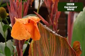 Canna Lily Growing Canna Lilies Video Guide Gardenersworld Com