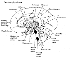 Part Of The Brain Stem That Is Involved In Arousal Brain Neurotransmitters
