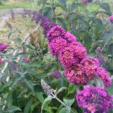 flower encyclopedia buddleja davidii flower power buddleia flower power in