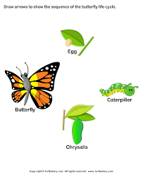 free worksheets butterfly life cycle worksheet free math