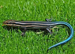 Backyard Reptiles Lizards Of Virginia