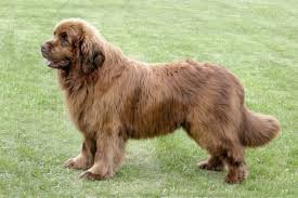 australian shepherd newfoundland newfoundland dogs and puppies for sale in the uk pets4homes
