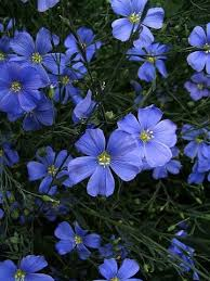 Blue Flowers - blue flax perennial seeds 2 grams linum perenne blue flowers