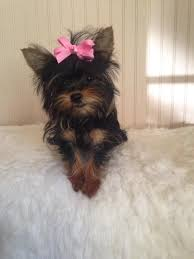 haircuts for yorkie dogs females 137 best teacup yorkie images on pinterest yorkies teacup yorkie