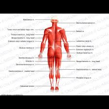Full Body Muscle Anatomy Full Body Posterior View Superficial Muscles
