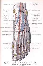 Foot Tendons Anatomy 196 Dorsum Of Left Foot With Tendon Sheaths Arteries And Bones