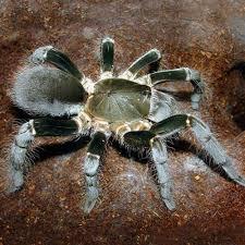 buy tarantulas