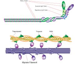 heavy chain light chain myosin sigma aldrich