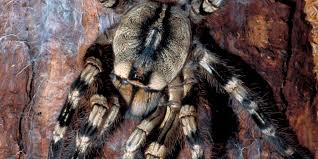 despite harmless reputation tarantulas can actually pack a