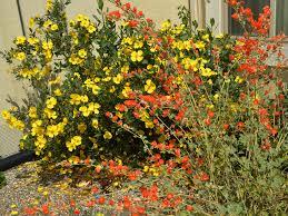 california native plant seeds dendromecon harfordii island bush poppy and sphaeralcea ambigua
