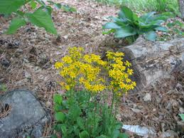 indiana native plants native plant alternatives for three common non natives dyck