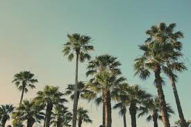 free stock photo of palm trees palms sky