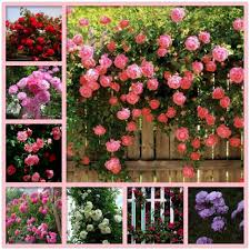 climbing roses in india images