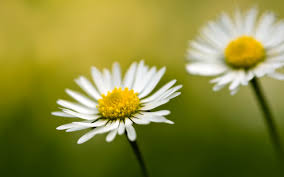 yellow daisy wallpapers download white daisies wallpaper free wallpapers