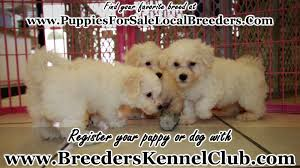 bichon frise dog breeders bichon frise puppies for sale georgia local breeders youtube