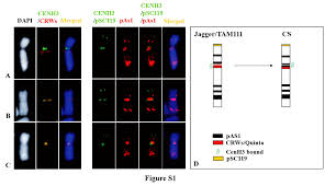 structure and stability of telocentric chromosomes in wheat