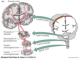 Pyramids Of The Medulla Stem Cell Based Spinal Cord Repair Enables Robust Corticospinal