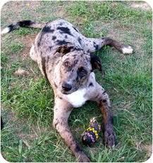 australian shepherd lab mix dino adopted dog waller tx australian shepherd labrador