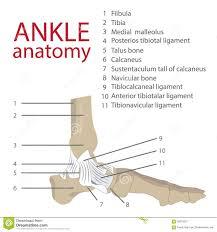 Foot Tendons Anatomy Ankle Anatomy Stock Vector Image 58216812