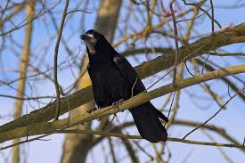 free photo bird tree nature crows free image on