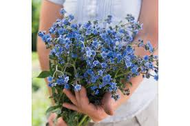 forget me not seed packets forget me not cynoglossum seed johnny s selected seeds