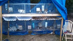 Rabbit Hutch Plans For Meat Rabbits Rabbits Vs Guinea Pigs For Meat Costs And Considerations Part 2